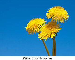 three yellow dandelions on blue sky