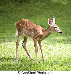 daylight fawn - whitetail deer fawn that is out in the grass...