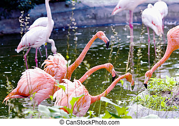 Greater pink flamingo - Phoenicopterus ruber roseus. Covey...