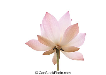 pink water lilly flower as white isolate background