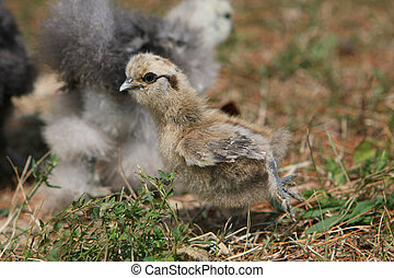Silkie Chicken Young