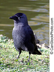 Jackdaw in a local Park, Cardiff