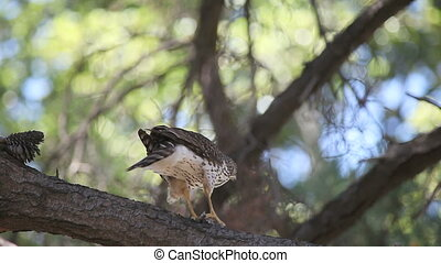 hawk with prey - a hawk eats a bird in a pine tree