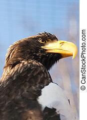 Steller's sea eagle - Steller's sea eagle - Haliaeetus...