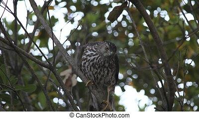hawk looking for prey