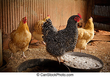 Four Chickens in a Chicken Coop - One black and white Barred...
