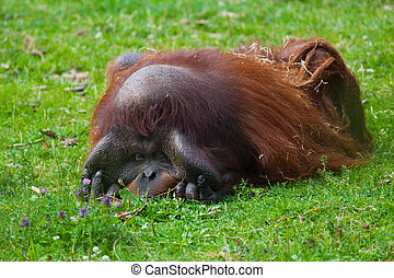 Bornean Orangutan male resting on the grass at Dublin zoo