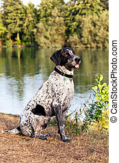 Portrait of German Short Hair Pointer outdoors