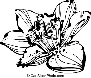 sketch bud Narcissus - black and white picture sketch bud...