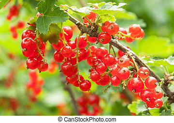 redcurrant on the bush, outdoors