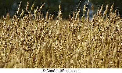 Field of rye 5