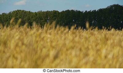Field of rye 1