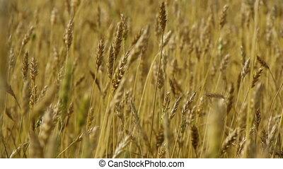 Field of rye 6