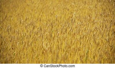 Field of rye 7