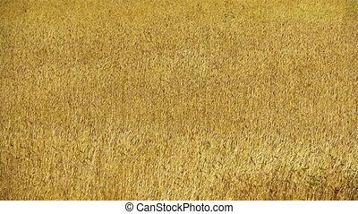 Field of rye 3