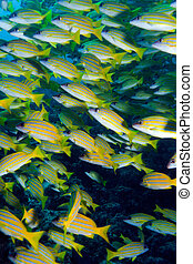 School of Blue striped Snapper Lutjanus kasmira, Ari-Atoll...