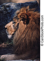 King watching - A beautiful capture of a lion watching his...