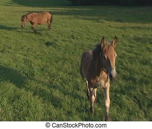 Two small horses grazing in meadow