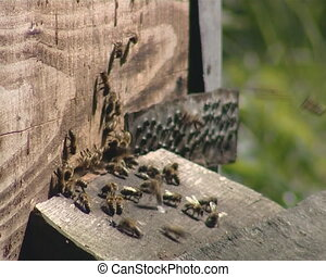 Bees buzzing around a hive - A lot of bees buzzing around a...