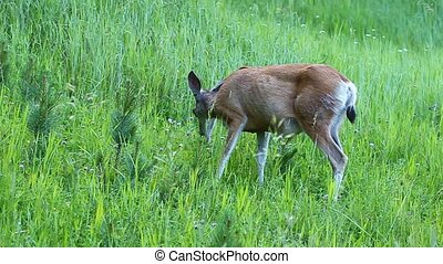 Mule Deer (Odocoileus hemionus) browses on vegetation in a...