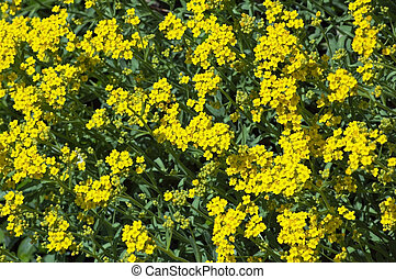 Brassica nigra flowers on green grass background