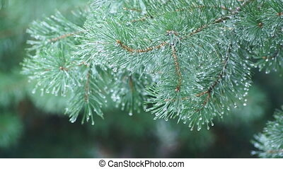 Rain in pine tree forest