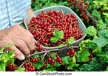Senior woman picking ripe red currant - Senior woman picking...