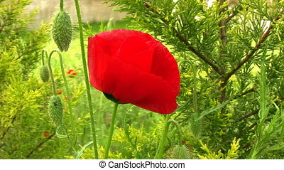 Poppy - Spring poppy in the garden