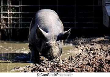 Pigs Pen. No.1 - Pig