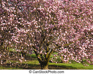 Magnolia tree - Beautiful big flowering tree of magnolia