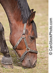 Thoroughbred Horse Grazing