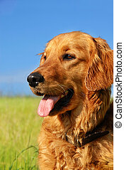 Golden retriever dog portrait - orange golden retriever dog...