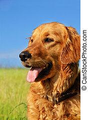 Golden retriever dog portrait - orange golden retriever dog...