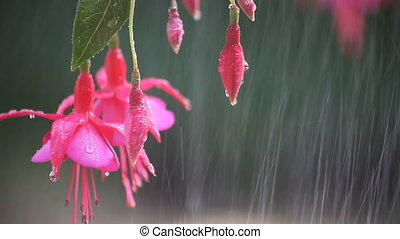 pink fuchsias with water drops
