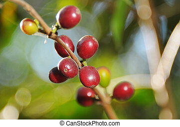 Coffee plant - Picure of a coffe berries growing on...