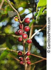 café, planta