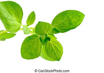 Marjoram - Majorjam leaves isolated, white background