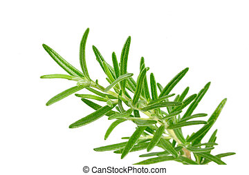 Rosemary branches - Rosemary branch isolated, white...