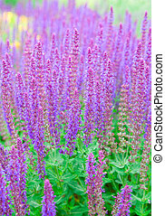 salvia officinalis field of sage
