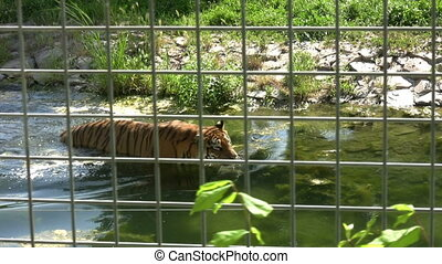 Tiger walking in water