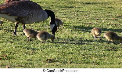 Canada geese and goslings - a goose family feeds on the...