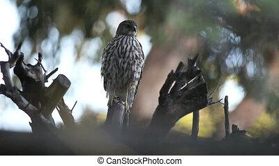 hawk in a dead tree - a juvenile sharp-shinned hawk looks...