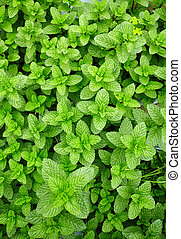 Mint leaves top view