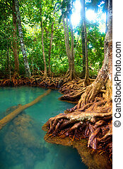 Mangrove forest - Roots of mangrove trees in rainforest,...