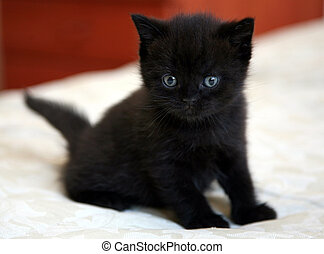 Black british kitten with blue eyes