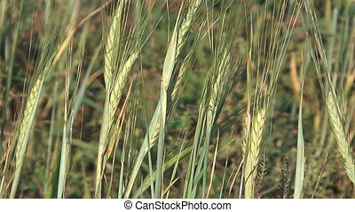 Barley - Close up shot of barley ears