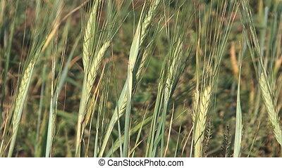 Barley. - Close up shot of barley ears.