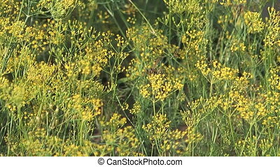 Fennel. - HD 1080 close up shot of wasp on inflorescence...