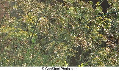 Fennel. - Water drops shine on blossoming fennel.