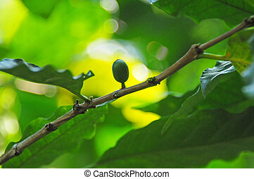 Coffee plant - Picture of a coffe berries growing on...